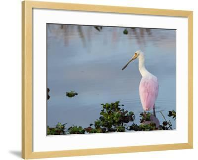 Roseate Spoonbill, Ajaia Ajaja, Foraging in the Shallows-Paul Sutherland-Framed Photographic Print