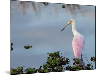 Roseate Spoonbill, Ajaia Ajaja, Foraging in the Shallows-Paul Sutherland-Mounted Photographic Print
