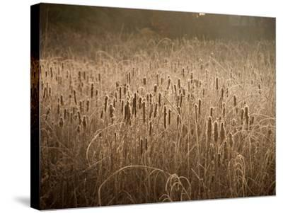 Cattails Going to Seed Among Golden Grasses-Heather Perry-Stretched Canvas Print