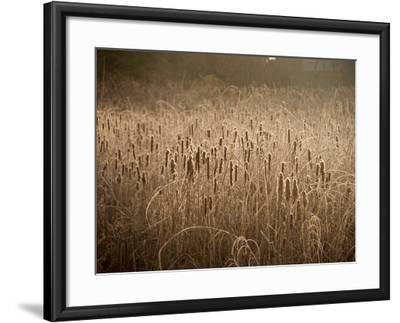 Cattails Going to Seed Among Golden Grasses-Heather Perry-Framed Photographic Print