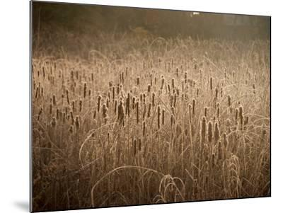 Cattails Going to Seed Among Golden Grasses-Heather Perry-Mounted Photographic Print