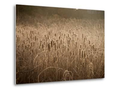 Cattails Going to Seed Among Golden Grasses-Heather Perry-Metal Print