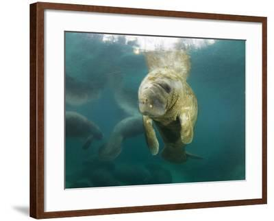 Young Manatees Rest Just under the Surface of the Water-Mauricio Handler-Framed Photographic Print