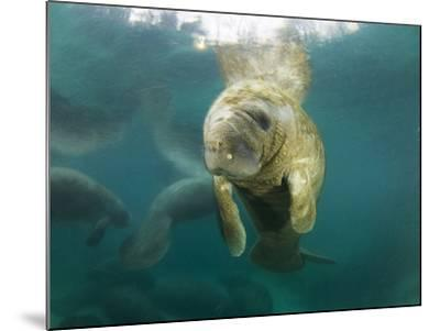 Young Manatees Rest Just under the Surface of the Water-Mauricio Handler-Mounted Photographic Print