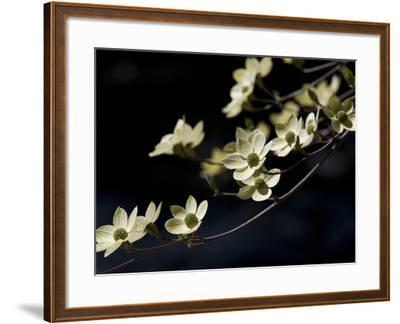 Close Up of a Pacific Dogwood Tree in Bloom-Marc Moritsch-Framed Photographic Print
