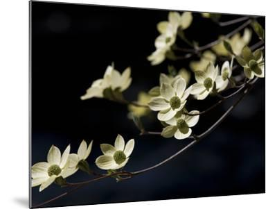 Close Up of a Pacific Dogwood Tree in Bloom-Marc Moritsch-Mounted Photographic Print