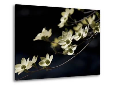Close Up of a Pacific Dogwood Tree in Bloom-Marc Moritsch-Metal Print