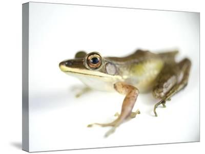 Studio Portrait of a White-Lipped Frog, Hylarana Albolabris-Joel Sartore-Stretched Canvas Print