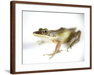 Studio Portrait of a White-Lipped Frog, Hylarana Albolabris-Joel Sartore-Framed Photographic Print