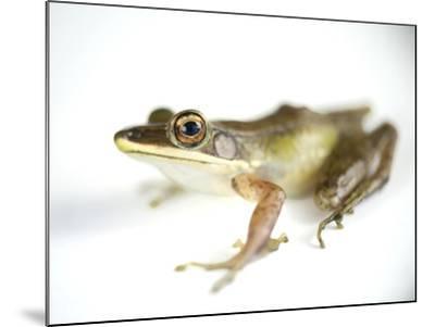 Studio Portrait of a White-Lipped Frog, Hylarana Albolabris-Joel Sartore-Mounted Photographic Print