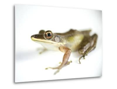 Studio Portrait of a White-Lipped Frog, Hylarana Albolabris-Joel Sartore-Metal Print