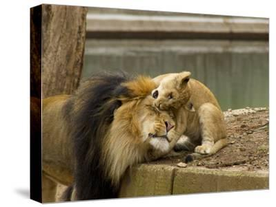 Male Lion and Lion Cub, Panthera Leo, Socializing in their Enclosure-Paul Sutherland-Stretched Canvas Print