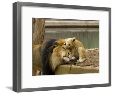 Male Lion and Lion Cub, Panthera Leo, Socializing in their Enclosure-Paul Sutherland-Framed Photographic Print