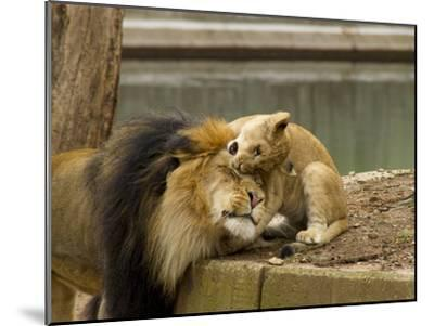 Male Lion and Lion Cub, Panthera Leo, Socializing in their Enclosure-Paul Sutherland-Mounted Photographic Print