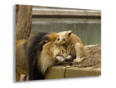 Male Lion and Lion Cub, Panthera Leo, Socializing in their Enclosure-Paul Sutherland-Metal Print