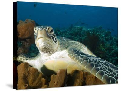 Green Turtle, Chelonia Mydas, at Rest in the Coral, Gili Islands-Paul Sutherland-Stretched Canvas Print