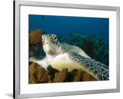 Green Turtle, Chelonia Mydas, at Rest in the Coral, Gili Islands-Paul Sutherland-Framed Photographic Print