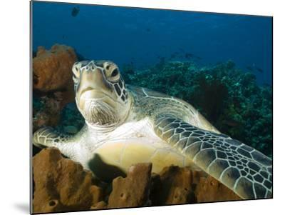 Green Turtle, Chelonia Mydas, at Rest in the Coral, Gili Islands-Paul Sutherland-Mounted Photographic Print