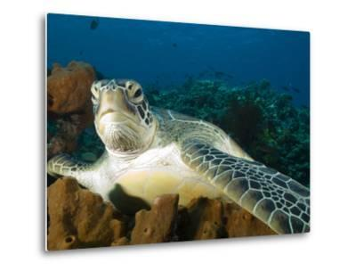 Green Turtle, Chelonia Mydas, at Rest in the Coral, Gili Islands-Paul Sutherland-Metal Print