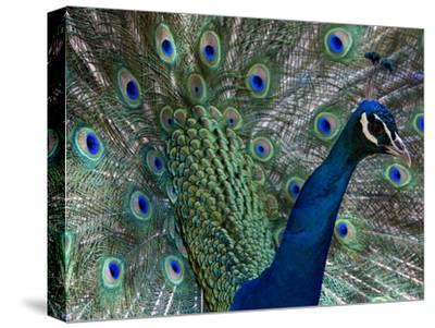 Male Indian Pea Fowl, Peacock, Pavo Cristatus, Displaying for Females.-Paul Sutherland-Stretched Canvas Print