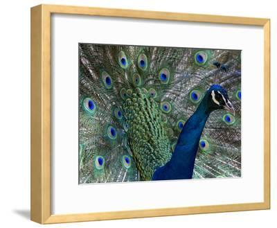 Male Indian Pea Fowl, Peacock, Pavo Cristatus, Displaying for Females.-Paul Sutherland-Framed Photographic Print