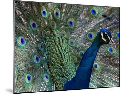 Male Indian Pea Fowl, Peacock, Pavo Cristatus, Displaying for Females.-Paul Sutherland-Mounted Photographic Print