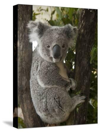 A Wounded Federally Threatened Koala Sits in a Tree in an Enclosure at a Wildlife Hospital-Joel Sartore-Stretched Canvas Print