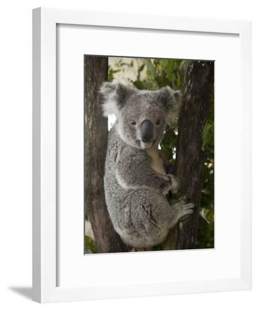 A Wounded Federally Threatened Koala Sits in a Tree in an Enclosure at a Wildlife Hospital-Joel Sartore-Framed Photographic Print