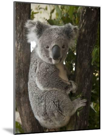 A Wounded Federally Threatened Koala Sits in a Tree in an Enclosure at a Wildlife Hospital-Joel Sartore-Mounted Photographic Print