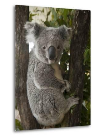 A Wounded Federally Threatened Koala Sits in a Tree in an Enclosure at a Wildlife Hospital-Joel Sartore-Metal Print