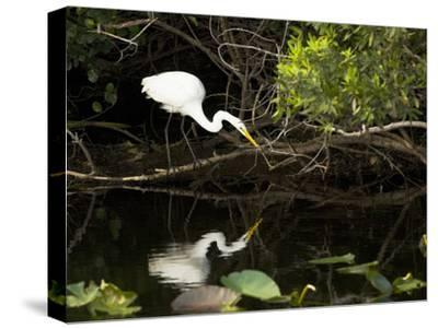 A White Egret Hunting in the Shadows in a Swamp-Mauricio Handler-Stretched Canvas Print