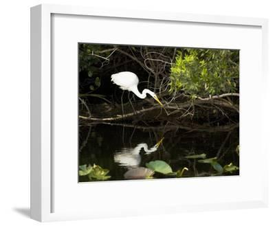 A White Egret Hunting in the Shadows in a Swamp-Mauricio Handler-Framed Photographic Print