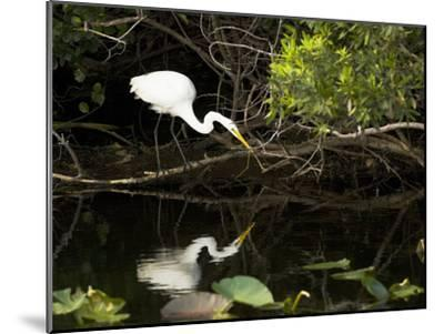A White Egret Hunting in the Shadows in a Swamp-Mauricio Handler-Mounted Photographic Print