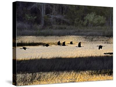A Flock of Ibis Fly over the Sunset Colored Marsh-Raymond Gehman-Stretched Canvas Print
