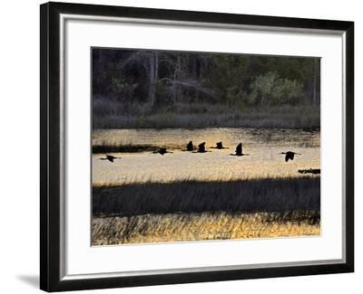 A Flock of Ibis Fly over the Sunset Colored Marsh-Raymond Gehman-Framed Photographic Print