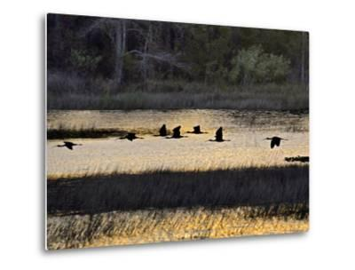 A Flock of Ibis Fly over the Sunset Colored Marsh-Raymond Gehman-Metal Print