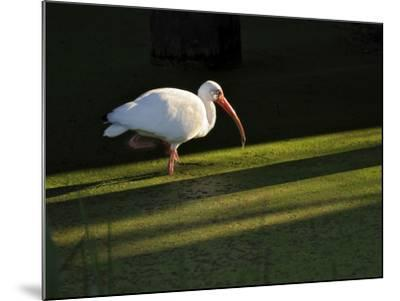 A White Ibis Hunts for Food in Shallow Duckweed-Covered Water-Raymond Gehman-Mounted Photographic Print