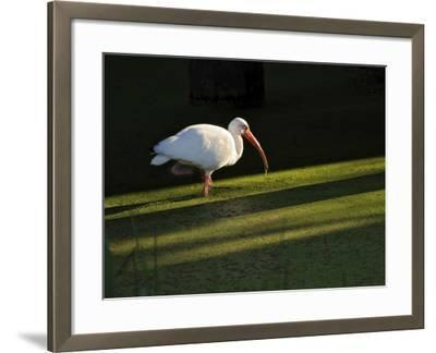 A White Ibis Hunts for Food in Shallow Duckweed-Covered Water-Raymond Gehman-Framed Photographic Print