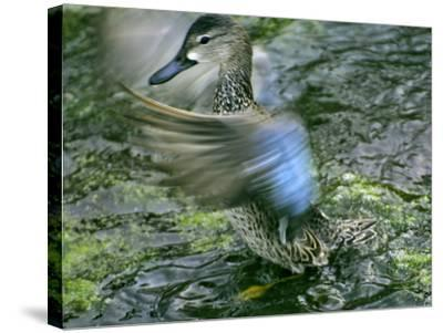 A Blue-Winged Teal Duck Flapping it's Wings-Raymond Gehman-Stretched Canvas Print