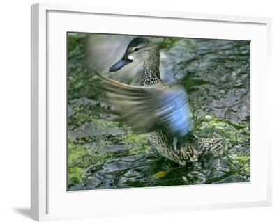 A Blue-Winged Teal Duck Flapping it's Wings-Raymond Gehman-Framed Photographic Print