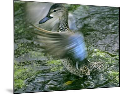 A Blue-Winged Teal Duck Flapping it's Wings-Raymond Gehman-Mounted Photographic Print