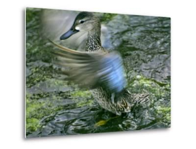 A Blue-Winged Teal Duck Flapping it's Wings-Raymond Gehman-Metal Print