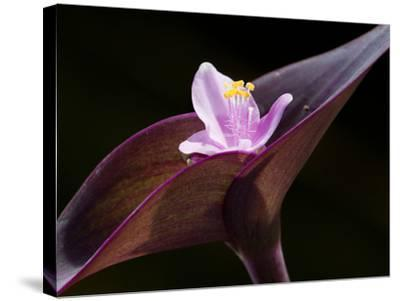 Close Up of Purple Heart Flower and Bracts, Tradescantia Pallida-Darlyne A^ Murawski-Stretched Canvas Print