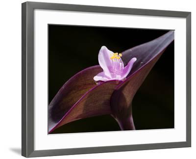 Close Up of Purple Heart Flower and Bracts, Tradescantia Pallida-Darlyne A^ Murawski-Framed Photographic Print