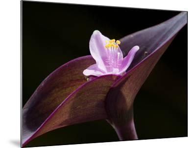 Close Up of Purple Heart Flower and Bracts, Tradescantia Pallida-Darlyne A^ Murawski-Mounted Photographic Print