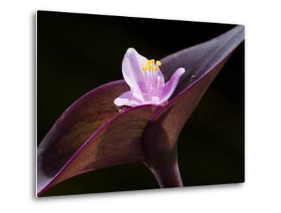 Close Up of Purple Heart Flower and Bracts, Tradescantia Pallida-Darlyne A^ Murawski-Metal Print