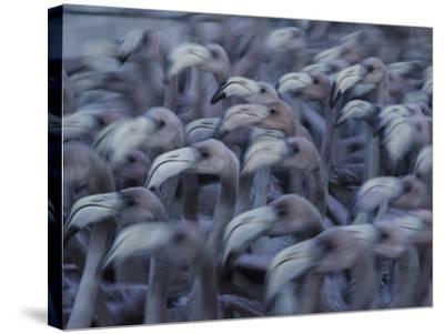 Young Caribbean Flamingos are Herded into an Enclosure to Be Banded-Klaus Nigge-Stretched Canvas Print