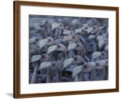 Young Caribbean Flamingos are Herded into an Enclosure to Be Banded-Klaus Nigge-Framed Photographic Print