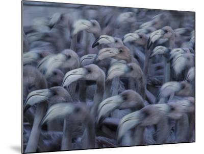 Young Caribbean Flamingos are Herded into an Enclosure to Be Banded-Klaus Nigge-Mounted Photographic Print