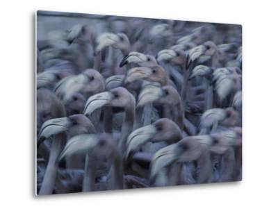 Young Caribbean Flamingos are Herded into an Enclosure to Be Banded-Klaus Nigge-Metal Print